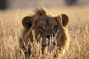 Lion in the Kgalagadi Transfrontier Park